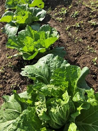 *クラブ活動報告*食農教育同好会 『旬華』による冬野菜の収穫!